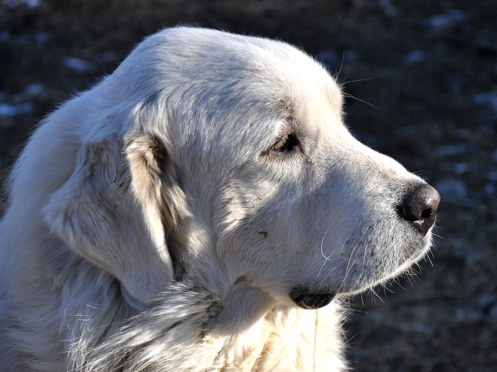Cute Adult Dogs Our adult great pyrenees dogs