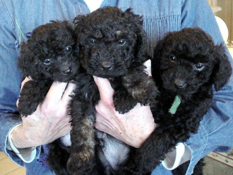 Miniature Poodles At The Milk Amp Honey Farm