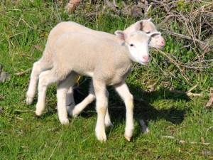lambs4